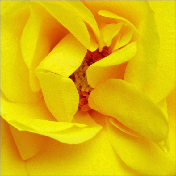 Beautiful Yellow Flower Photograph - Archival  Print
