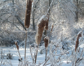 Iced, Cattails, Wathen Park, Jeffersonville Indiana, 8 x 10, Fine Art, Photography, Print, Glossy, finish