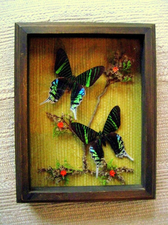 Gorgeous Vintage Iridescent Green and Black Butterflies in Glass Shadow Box frame