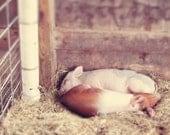 CUSTOM LISTING 5x7 - Snuggle - Photography, pigs, farm, cute, faux-tilt shift
