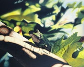oil painting, 16x20 giclee print of tree frog in a maple, by Anna Morton