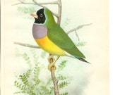 1906 Bird Print - Lady Gould Finch - Vintage Antique Home Decor Art Illustration for Framing 100 Years Old
