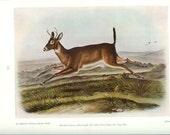 1951 Audubon Animal Print - Oregon White Tailed Deer - Vintage Antique Book Plate Art Illustration Natural Science Great for Framing