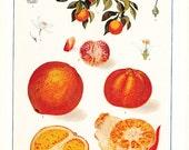 1909 Orange Print - Vintage Antique Art Illustration Book Plate Natural Science Great for Framing 100 Years Old