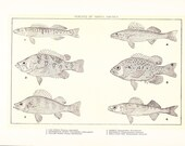 1903 Fish Print - Perch of North America - Vintage Antique Home Decor Book Plate Art Illustration for Framing 100 Years Old