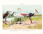 1903 Bird Print - Waders - Heron Spoonbill Stork Flamingo - Vintage Antique Home Decor Book Plate Art Illustration for Framing 100 Years Old