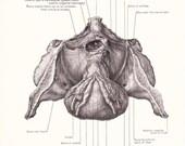 1926 Human Anatomy Print - Internal Organs Bladder Prostate - Vintage Antique Medical Anatomy Art Illustration for Doctor Hospital Office