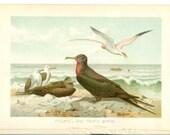 Antique Bird Print