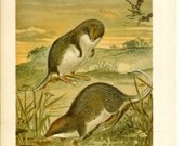 1890s Animal Print - Web Footed Shrews - Vintage Antique Book Plate for Natural Science or History Lover Great for Framing 100 Years Old