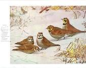 1955 Bird Print - Lark - Vintage Natural Science Home Decor Art Illustration Great for Framing