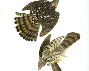 John James Audubon Bird Print - Cooper's Hawk - Vintage Natural Science Home Decor Art Illustration Great for Framing