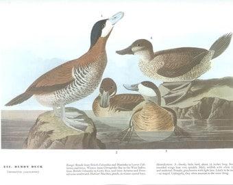 John James Audubon Bird Print - Ruddy Duck - Vintage Natural Science Home Decor Art Illustration Great for Framing