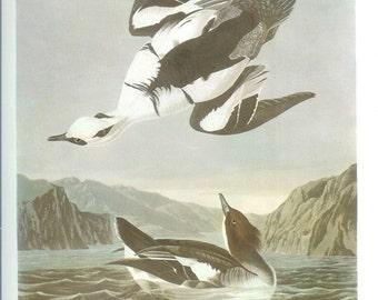 John James Audubon Bird Print - Smew - Vintage Natural Science Home Decor Art Illustration Great for Framing
