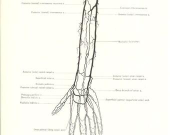 1926 Human Anatomy Print - Circulation of Arm - Vintage Antique Medical Anatomy Art Illustration for Doctor Hospital Office