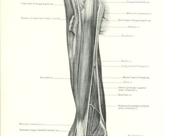 1926 Human Anatomy Print - Biceps Brachii Muscle - Vintage Antique Medical Anatomy Art Illustration for Doctor Hospital Office
