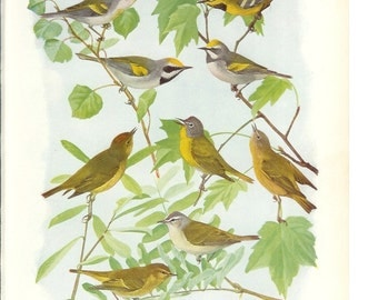 1936 Bird Print - Plates 93 & 94 - Warblers - Vintage Antique Art Illustration by Louis Agassiz Fuertes 75 Years Old
