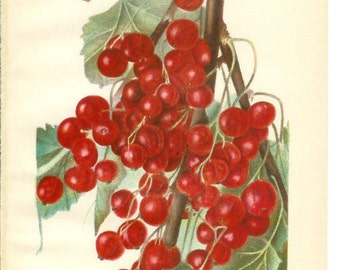 1909 Fruit Print - Diploma Currant - Vintage Home Kitchen Food Decor Plant Art Illustration Great for Framing 100 Years Old