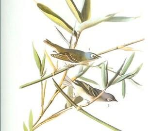 John James Audubon Bird Print - Blue Headed Vireo - Vintage Natural Science Home Decor Art Illustration Great for Framing