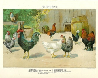 1909 Bird Print - Domestic Fowl - Vintage Antique Home Decor Book Plate Art Illustration for Framing 100 Years Old
