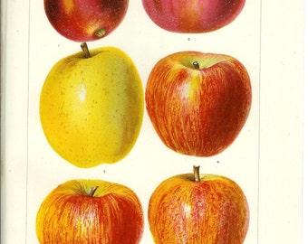 1909 Fruit Print - Apples - Vintage Antique Art Illustration Book Plate Natural Science Great for Framing 100 Years Old