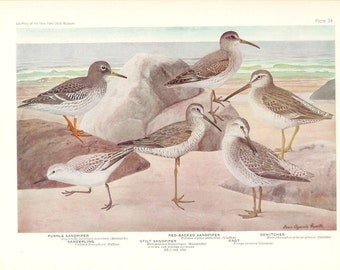 1936 Bird Print - Plates 33 & 34 - Sandpipers - Vintage Antique Art Illustration by Louis Agassiz Fuertes 75 Years Old