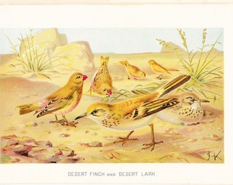 1901 Bird Print - Desert Finch and Desert Lark - Vintage Antique Book Plate for Natural Science Lover Great for Framing 100 Years Old