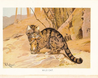 1904 Animal Print - Wild Cat - Vintage Antique Book Plate for Natural Science or History Lover Great for Framing 100 Years Old