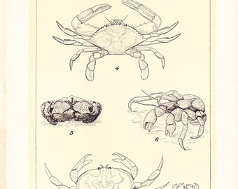1903 Animal Print - Crabs - Vintage Antique Home Decor Book Plate Art Illustration for Framing 100 Years Old