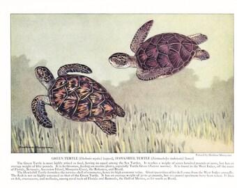 1939 Fish Print - Green Hawksbill Turtle - Vintage Antique Nature Science Animal Art Illustration Cabin Cottage Home Decor for Framing