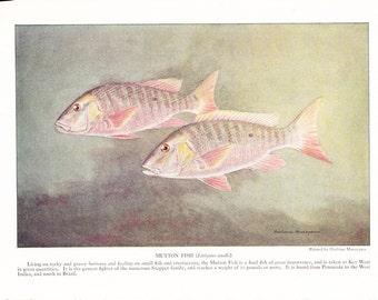 1939 Fish Print - Mutton Fish - Vintage Antique Nature Science Animal Art Illustration Cabin Cottage Home Decor for Framing
