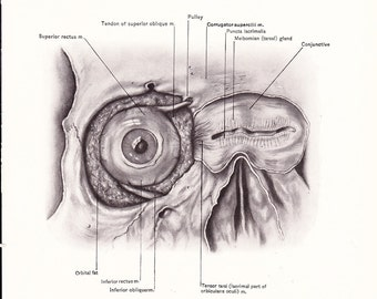 1926 Human Anatomy Print - Eye and Face - Vintage Antique Medical Anatomy Art Illustration for Doctor Hospital Office