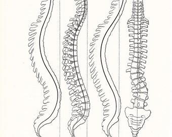 1926 Human Anatomy Print - Spinal Curve - Vintage Antique Medical Anatomy Art Illustration for Doctor Hospital Office