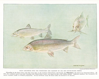 1939 Fish Print - Common Whitefish - Vintage Antique Nature Science Animal Art Illustration Cabin Cottage Home Decor for Framing