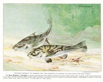 1939 Fish Print - King Whiting Kingfish - Vintage Antique Nature Science Animal Art Illustration Cabin Cottage Home Decor for Framing