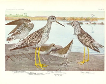1936 Bird Print - Plates 35 & 36 - Sandpipers - Vintage Antique Art Illustration by Louis Agassiz Fuertes 75 Years Old