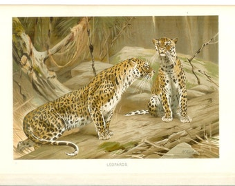 1890s Animal Print - Leopards - Vintage Antique Book Plate for Natural Science or History Lover Great for Framing 100 Years Old