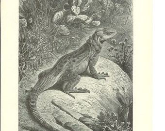 1890s Animal Print - Reptile Agama - Vintage Antique Home Decor Art Illustration for Framing 100 Years Old