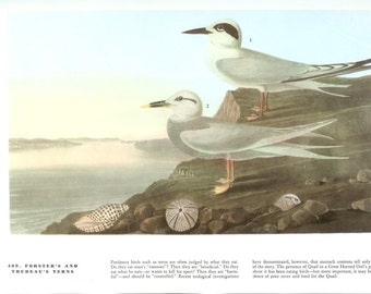 John James Audubon Bird Print - Foresters and Trudeaus Terns - Vintage Natural Science Home Decor Art Illustration Great for Framing