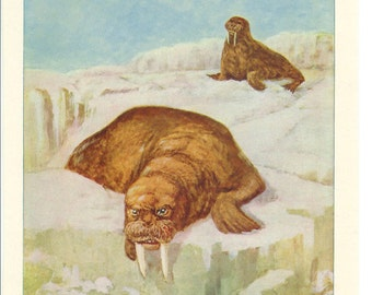 1900s Animal Print - Walrus - Vintage Antique Home Decor Book Plate Art Illustration for Framing 100 Years Old