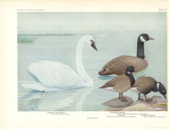 1936 Bird Print - Plates 21 & 22 - Swan and Goose - Vintage Antique Art Illustration by Louis Agassiz Fuertes 75 Years Old