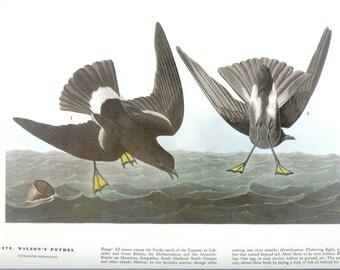 John James Audubon Bird Print - Wilsons Petrel - Vintage Natural Science Home Decor Art Illustration Great for Framing