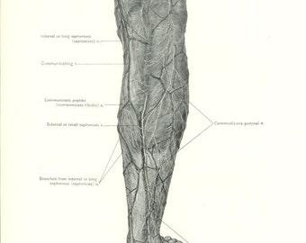 1926 Human Anatomy Print - Vessels and Nerves of Leg - Vintage Antique Medical Anatomy Art Illustration for Doctor Hospital Office