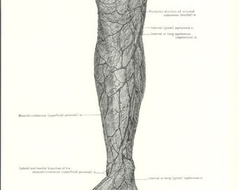 1926 Human Anatomy Print - Cutaneous Vessels and Nerves of Leg - Vintage Antique Medical Anatomy Art Illustration for Doctor Hospital Office