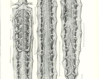 1926 Human Anatomy Print - Spinal Cord - Vintage Antique Medical Anatomy Art Illustration for Doctor Hospital Office