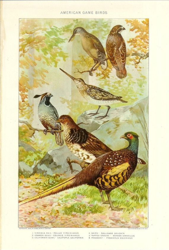 1903 Bird Print - Common Game Birds - Vintage Antique Home Decor Book Plate Art Illustration for Framing 100 Years Old