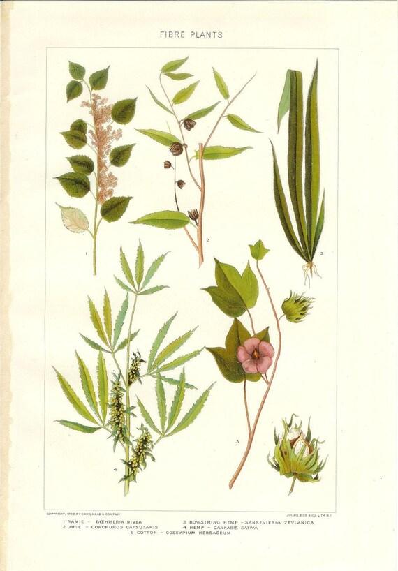 1909 Botany Print - Fibre Plants - Vintage Antique Art Illustration Book Plate Natural Science Great for Framing 100 Years Old