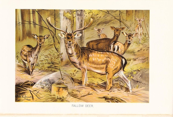 1901 Animal Print - Fallow Deer - Vintage Antique Book Plate for Natural Science or History Lover Great for Framing 100 Years Old