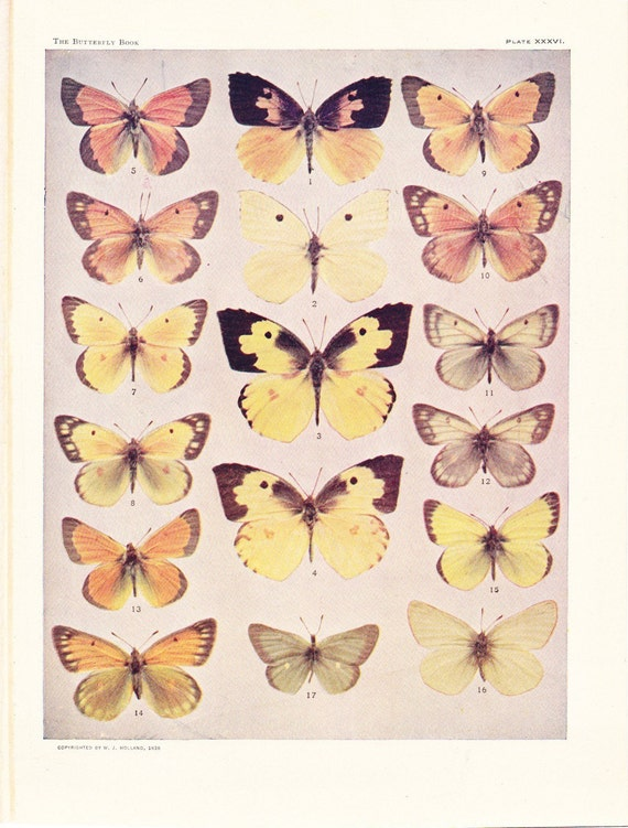 1908 Butterfly Print - Vintage Antique Book Plate for Natural Science or History Lover Great for Framing 100 Years Old