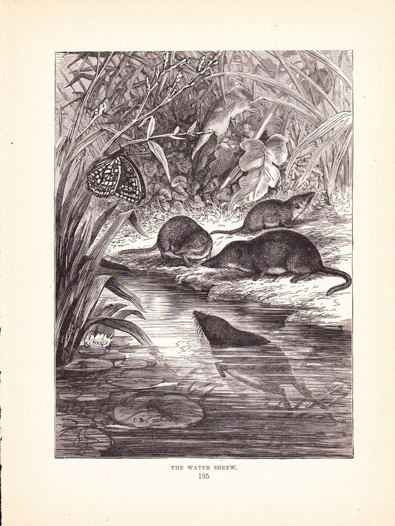 1880 Animal Print Water Shrew Vintage Antique Home By Holcroft