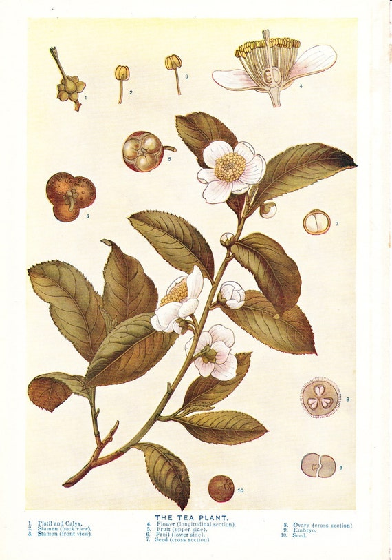 1909 Tea Plant Print Vintage Antique Art Illustration Book